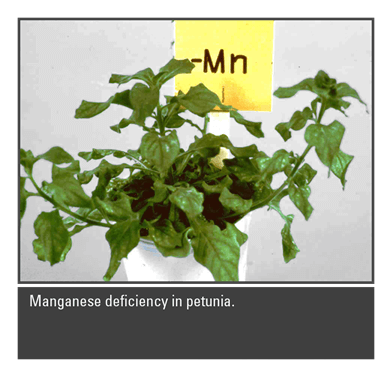 The Role of Manganese in Plant Culture