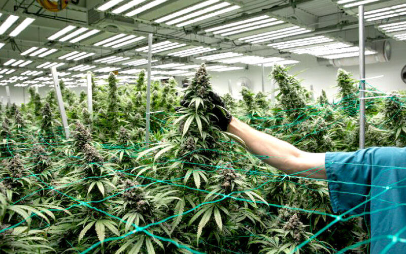 Massive colas grown under Fohse's A3i model at Lume Cannabis Company in Michigan.