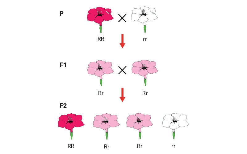 Illustration depicting the genetic combinations in plant breeding.