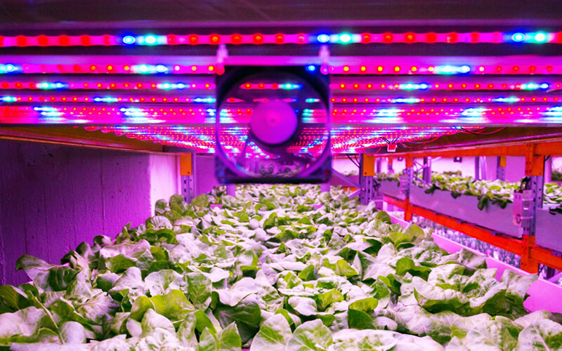 Oscillating fan hanging over an indoor lettuce grow.