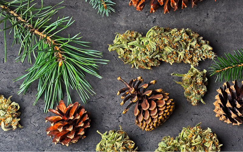 Cannabis flower on a table with pine needles and cones.