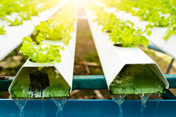 Flushing your hydroponic system regularly prevents issues down the road such as bacterial problemss
