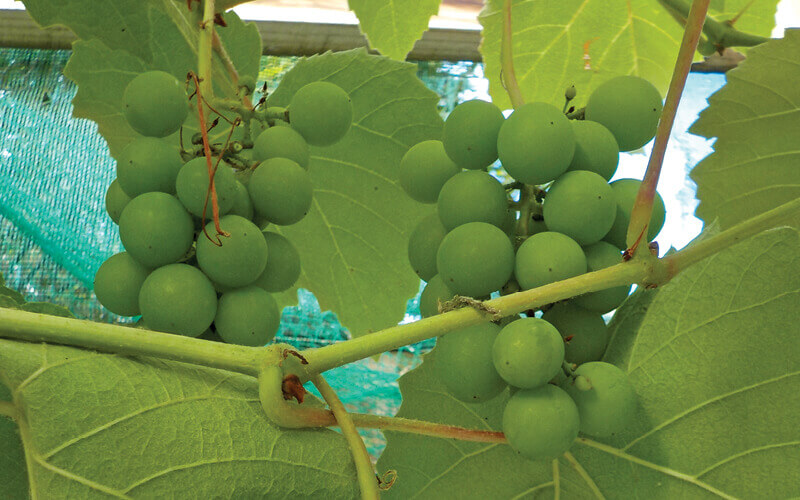 Closeup of grapes vines with set fruit in greenhouse