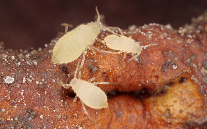Close up of a colony of root aphids (Trama troglodytes) sucking on dandelion roots.