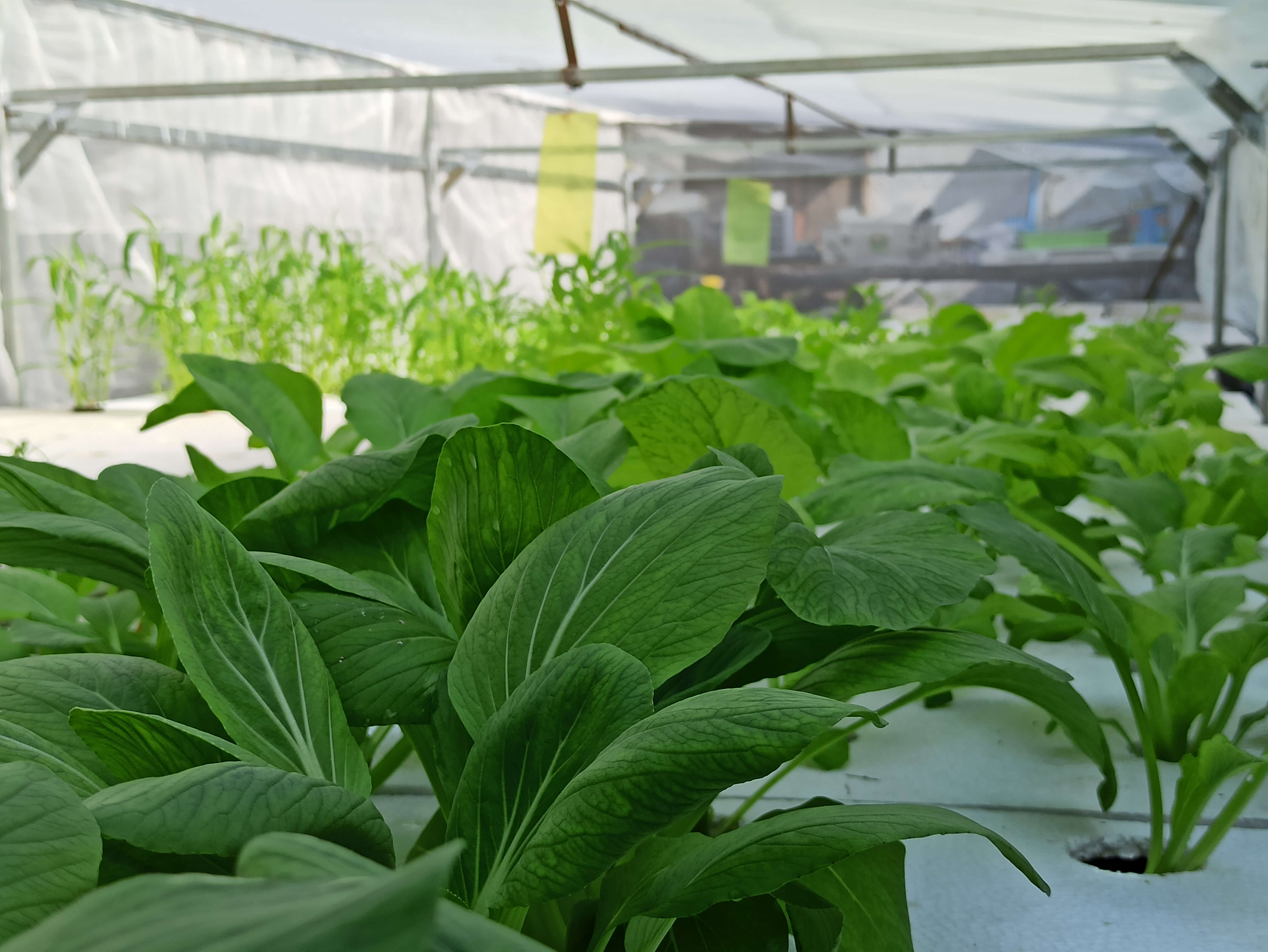 hydroponic vegetables grown in a small greenhouse