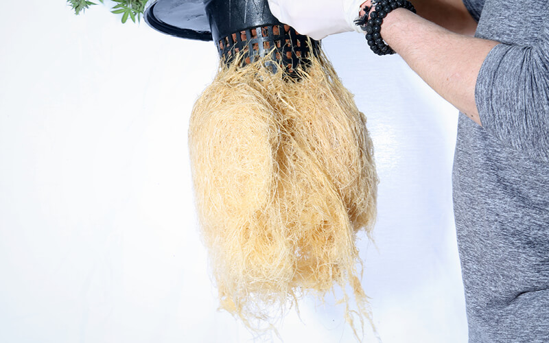Large hydroponic cannabis root system.