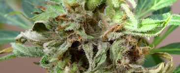 Bacteria? Virus? Fungi? Diagnosing Common Cannabis Diseases