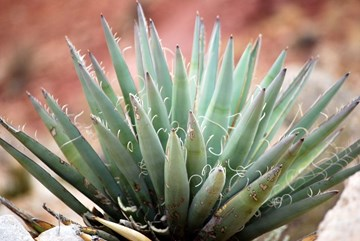Yucca Extracts: A Gardening Secret from the Desert