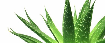 Amazing Aloe: Beat the Burn With Nature's Natural Nurse