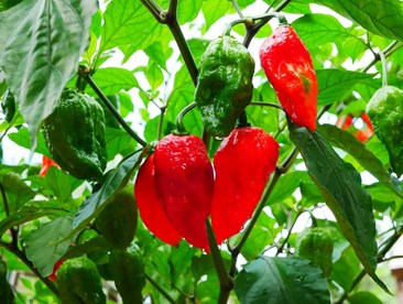 Photo of hot peppers growing on a pepper plant.