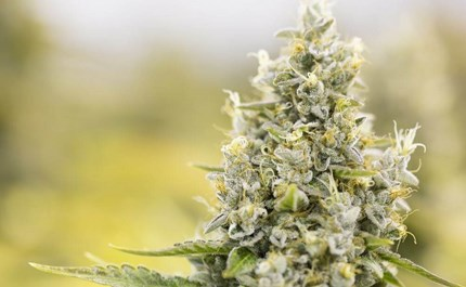 10 Cannabis Tips For Growing High Quality Bud