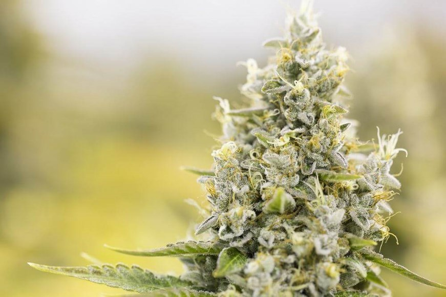 10 Tips For Growing High Quality Bud
