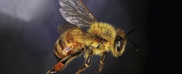 Multi-tasking Bees are the Superheroes of Pest Control