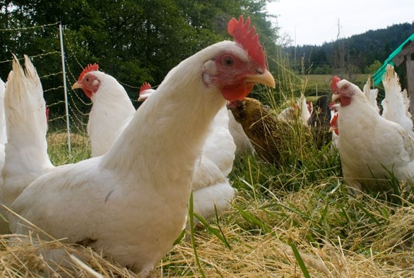 Growing Fodder Hydroponically for Backyard Chickens