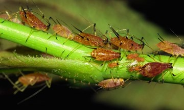 Root Aphids: The Ninjas of the Plant Pest World