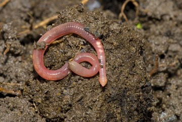 Worms: The Ancient Secret to the Rise of Human Civilization?