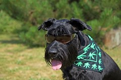 Cannabis & Pets: Is it OK to Give Medical Marijuana to Your Dog?