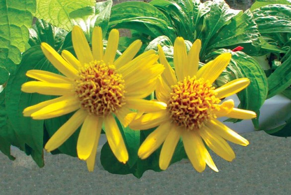Healing Hydroponics: Try Growing These Medicinal Plants