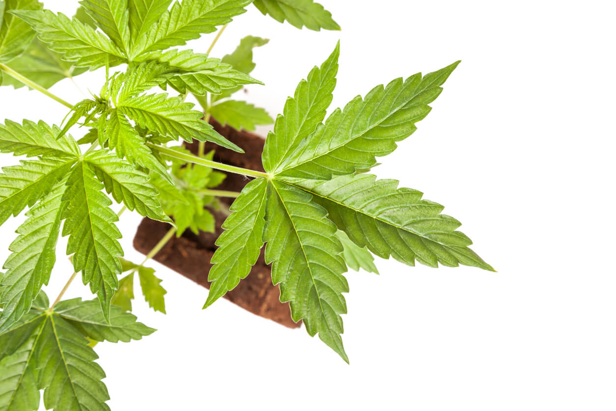 The Top 14 Autoflowering Cannabis Strains for Outdoor Growers