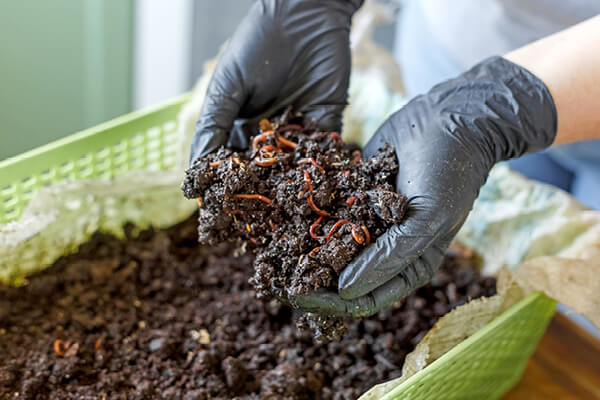 Vermicomposting or Homemade Worm Composting into rich organic soil fertilizer