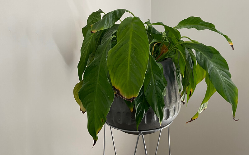 Drooping peace lily indoor house plant