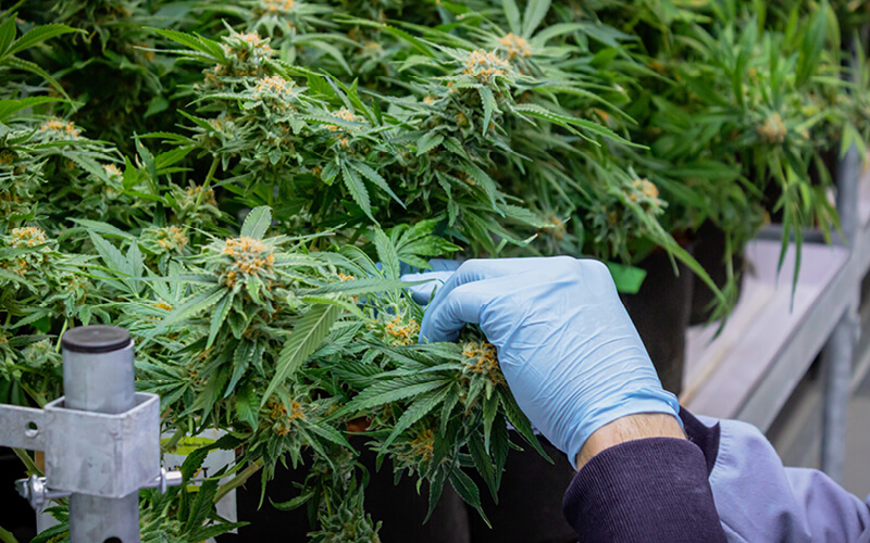 Grower taking a cutting from a cannabis mother plant.