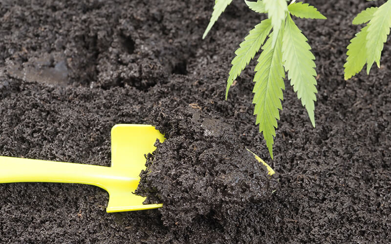 Cannabis growing in soil fertilized with vermicompost
