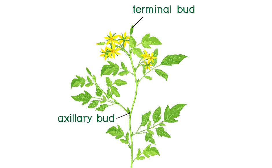 Diagram of a plant's terminal and axillary buds