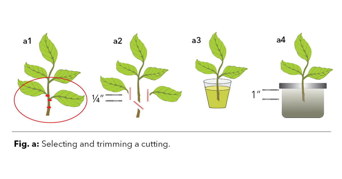 Figure A - Illustrating how to trim a cutting.