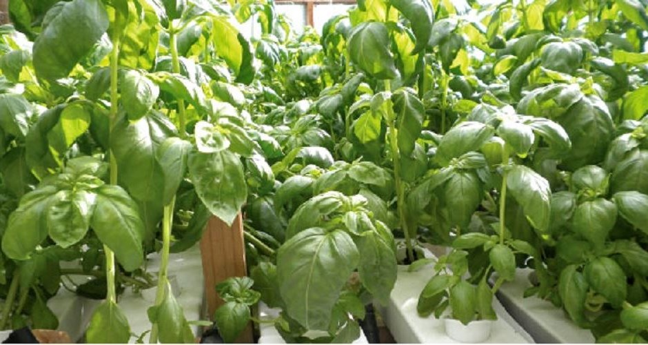 how to keep hydroponic plants alive