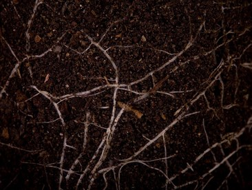 How exactly do mycorrhizal inoculants work?