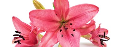 Big Blooms: How to Grow Exhibition-sized Flowers