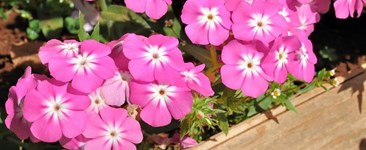 Growing Tough Crops: Vinca