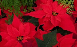 How to Care for Your Holiday Poinsettia Year-Round