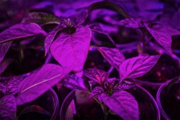How far from flower tops should a LED grow light be?
