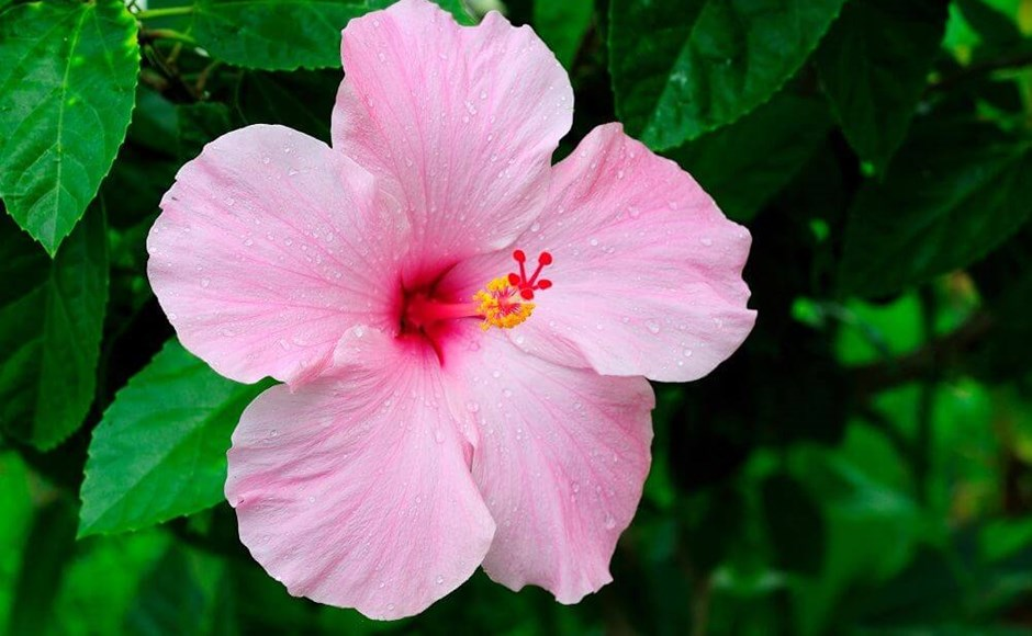 Winter Care for Hibiscus
