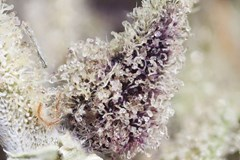 Jacked Up Cannabis: UV Light and Other Trichome Enhancers