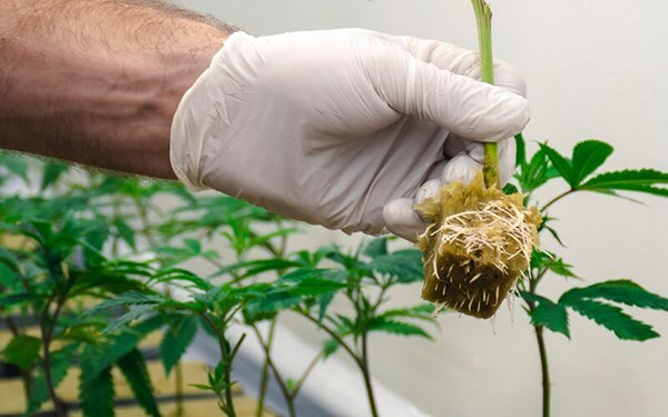 Grower displaying roots of a cannabis plant grown in rockwool.