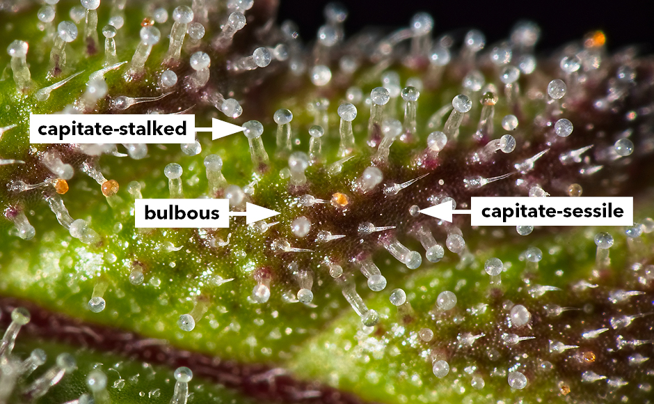 Diagram of bulbous, capitate-stalked and capitate-sessile glandular trichomes on a cannabis plant.