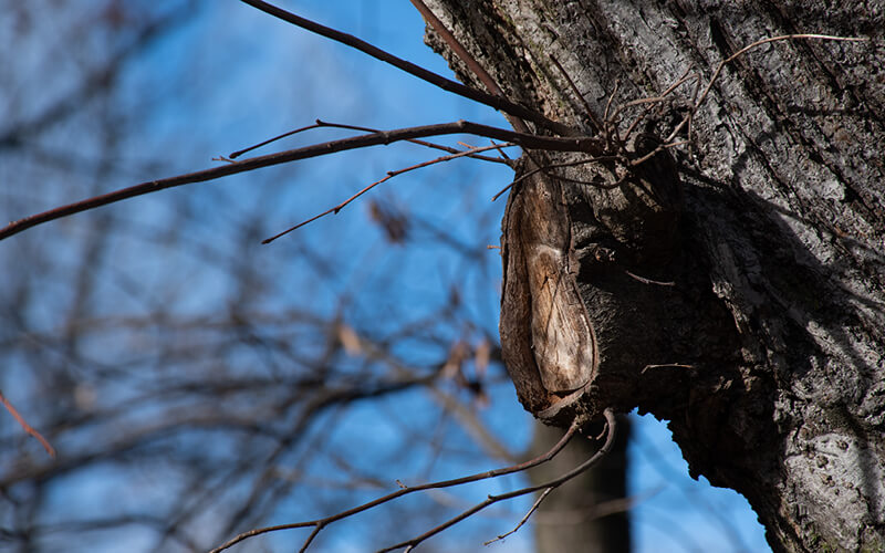 branch collar of a tree that has been pruned