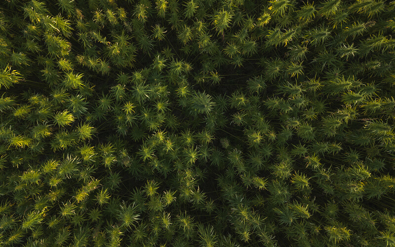 Overhead view of a cannabis field captured by drone