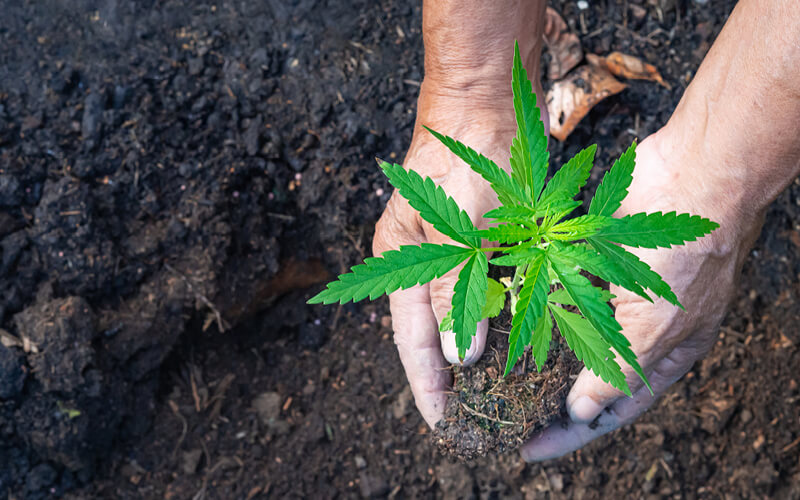 Grower planting young marijuana plant into soil.