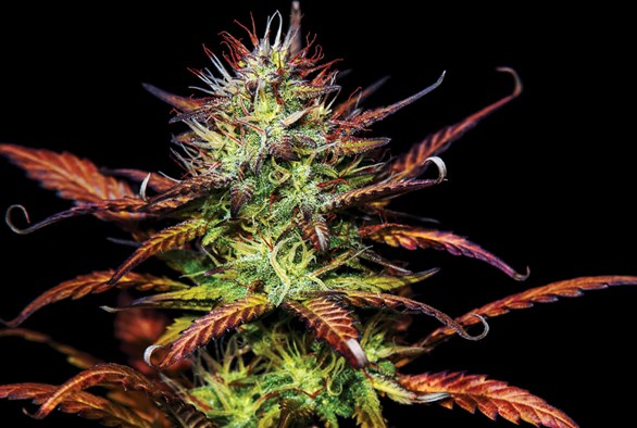 Clean Cannabis: Avoiding Contaminants When Buying Weed