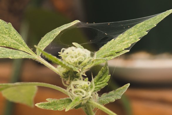 The Most Common Pests Threatening Your Cannabis Plants