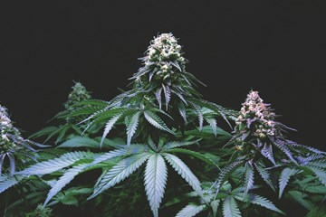 Nutrient Deficiencies and Excesses in Cannabis Growing