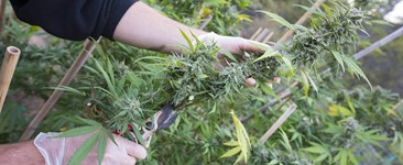 A Step-by-Step Guide to Cannabis Harvest Processing