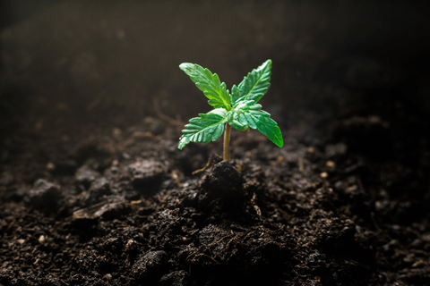 The team from Crop King Seeds gives us this guide to growing marijuana during the vulnerable seedling stage. Turns out it's just a little...