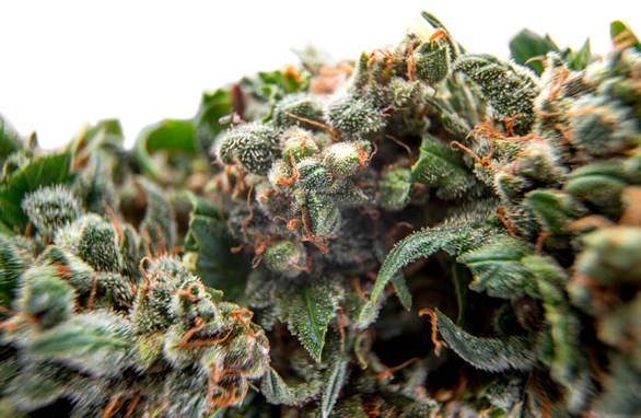 Best High CBD, Low THC Strains: Get High on Cannabis Without Getting High
