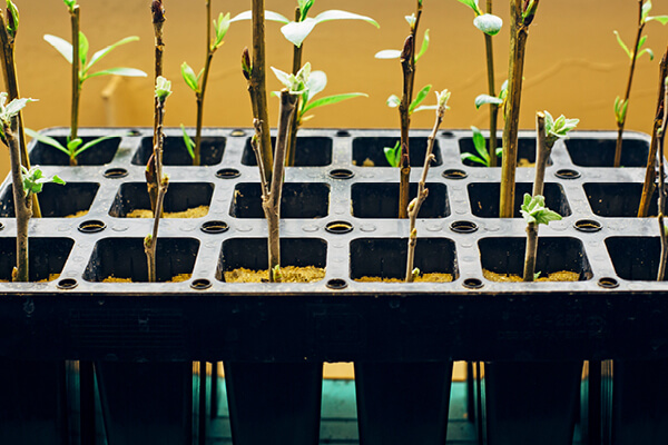 Rooted cuttings, in multi-cell growing trays