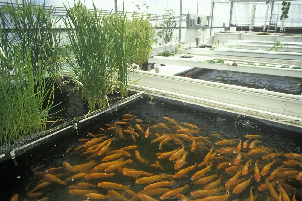 Managing ph in aquaponic systems for Koi pond hydroponics